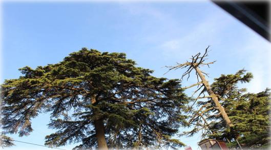 Tree in Chali, Shimla